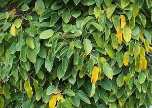 Kletterpflanzen Mehrjährig Winterhart : actinida arguta gelber strahlengriffel kletterpflanzen ~ Michelbontemps.com Haus und Dekorationen