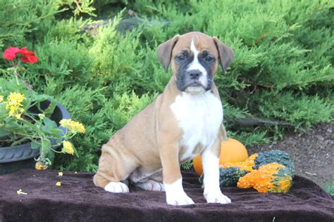 Bullboxer Puppy For Sale In Pennsylvania