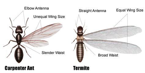 carpenter ant  termite damage east coast building pest