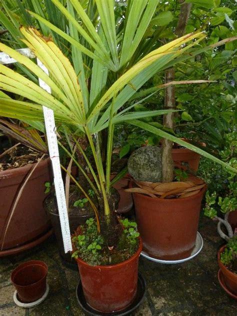 palmen kuebelpflanzen usw fuer garten und terrasse
