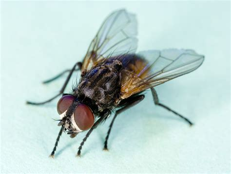 Fruit Fly Facts And Information