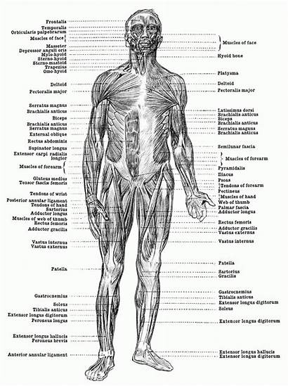 Muscles Human Anatomy Coloring Muscle Pages Myositis