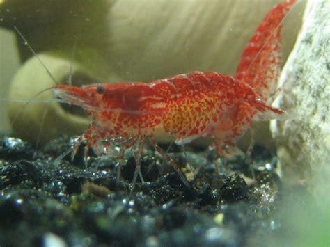 oeuf de crevette aquarium bient 244 t des b 233 b 233 s crevettes cherry