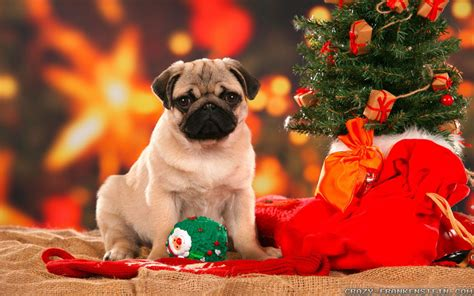 Best quality wallpapers images make your device cool. Christmas Pug Wallpapers - Wallpaper Cave