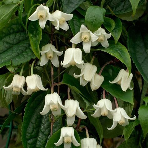 Clematis Winter Beauty  Evergreen, Hardy, Winter Blooming