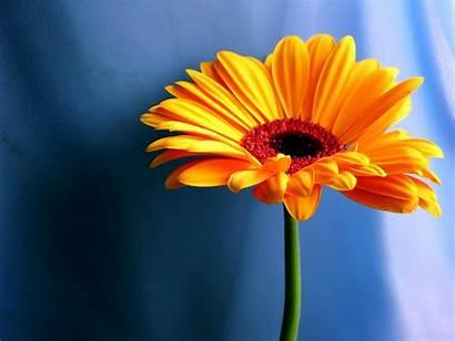 Flowers Wallpapers Daisy Desktop Flower Background Daisies