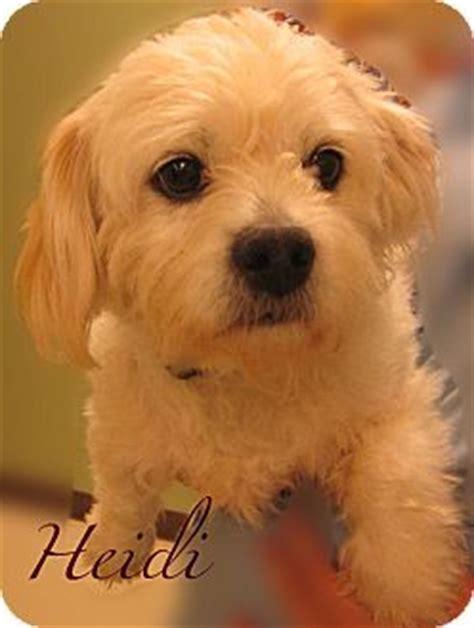 heidi adopted dog  beaumont tx pekingese