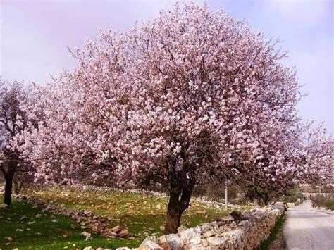 mandorlo da fiore il mandorlo alberi da frutto coltivare il mandorlo
