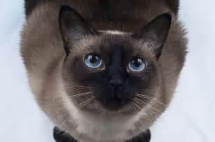 tonkinese cat the tonkinese cat cat breeds encyclopedia