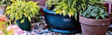 cam 233 lia en pot plantation culture bio taille