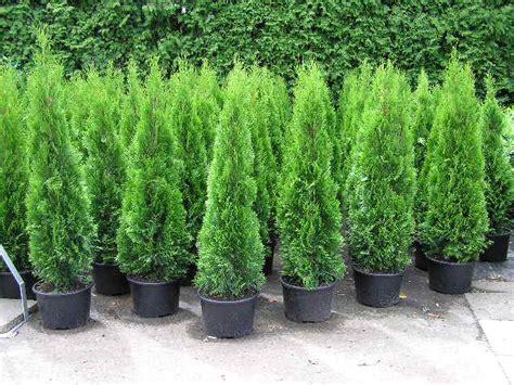 thuja kaufen thuja lebensbaum die perfekte heckenpflanze