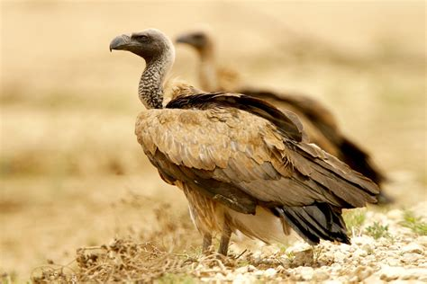 africa birds  prey scavengers nature photography
