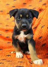 Australian Shepherd Rottweiler Mix Puppies