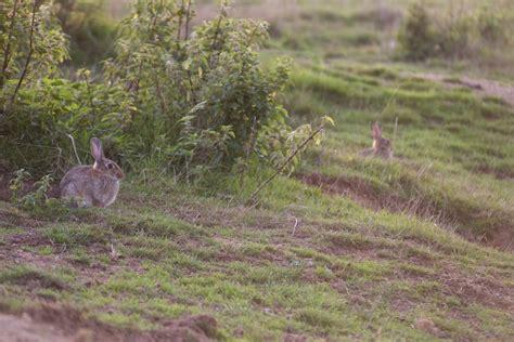cuisiner le lapin de garenne comment photographier les lapins de garenne