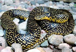 Image Gallery speckled kingsnake