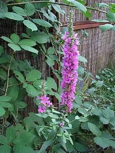 Pflanze Lila Blätter : welche pflanze ist das ~ Eleganceandgraceweddings.com Haus und Dekorationen