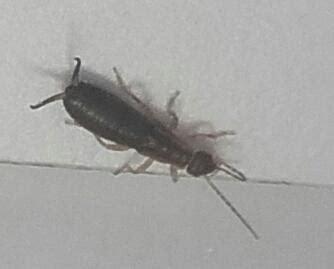 insecte de cuisine insecte fin avec de longues antennes dans cuisine le monde des insectes