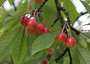 Taille De Cerisier : quand planter 1 cerisier ~ Melissatoandfro.com Idées de Décoration