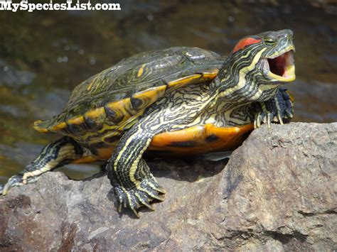 eared slider 1000 images about res on pinterest turtle facts a turtle and ears