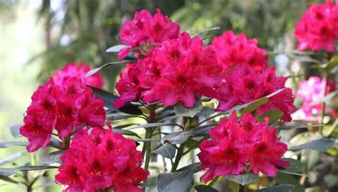 Jūnijā un jūlijā populārākie ziedošie rododendri