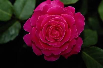Rose Flowers Flower Pink Wallpapers Desktop Background