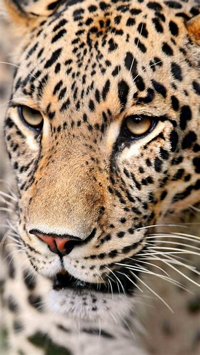 Leopard Iphone Face 6s Wallpapers Clipart Yopriceville