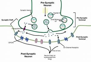 Nerve Cell Axon Terminals Diagram - Wiring Library