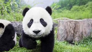 Baby Panda HD PC Wallpapers 9382 - Amazing Wallpaperz