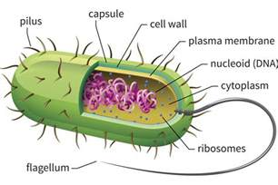 Image result for Bacteria Cell