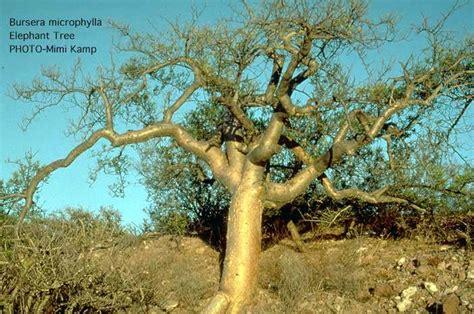 Historia de un copal blanco (Bursera odorata)