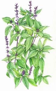 Holy Basil Drawing