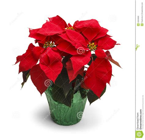christmas plants images poinsettia stock image image of christmas holidays 35659085