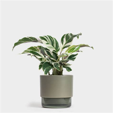 Calathea Fusion White  Indoor House Plants, Foliage Plants