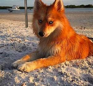 Dog That Looks Like A Fox
