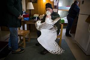 Trapping And Tracking The Mysterious Snowy Owl Npr