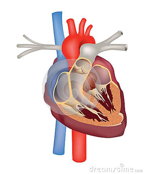 heart structure anatomy heart cross section royalty