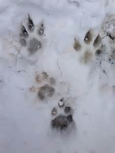 Lion Mountain Cougar Tracks