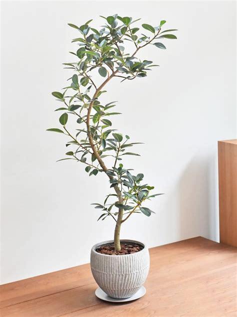 フランス ゴム の 木