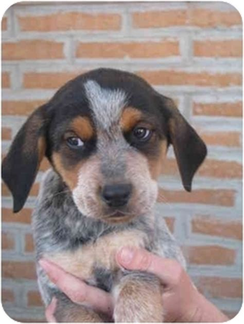 blue tick heeler shedding blue heeler coonhound mix breeds picture