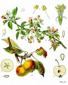 File:Malus domestica - Köhler–s Medizinal-Pflanzen-108.jpg ...