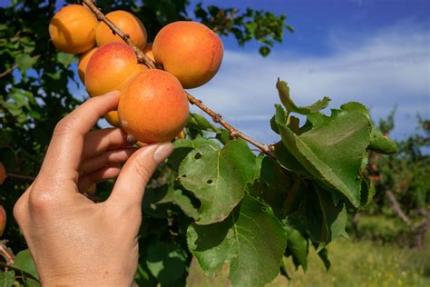 Apricot Questions and Answers