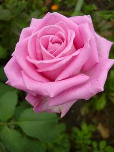 71 best Pink Roses---the most beautiful flower in the ...