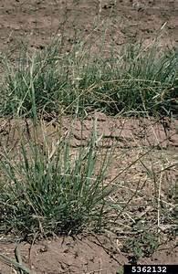 mountain brome, Bromus marginatus (Cyperales: Poaceae ...