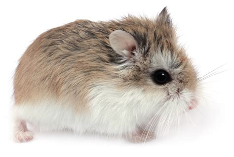 robo hamster 50 amazing hamster facts for kids everything you want to know