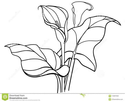 flores de las calas con las hojas ramo calas blancas