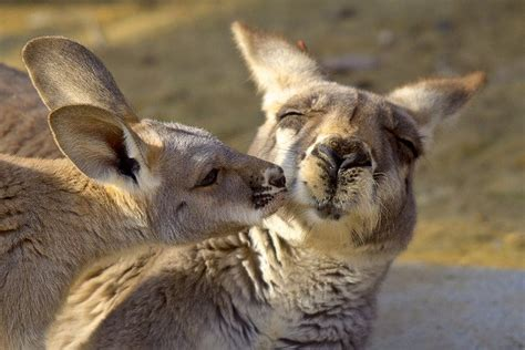 adorable animals kissing animals zone