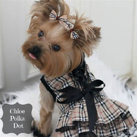 Yorkshire Terrier Dog Breed Talent Hounds