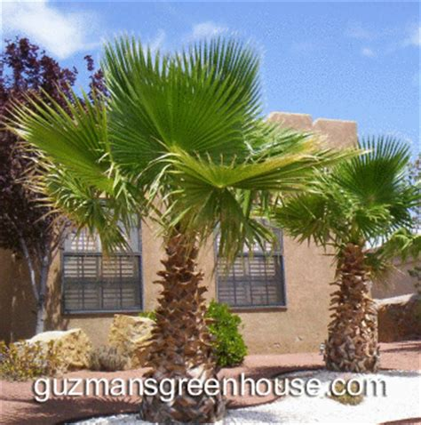 mexican fan palm care new mexico southwest trees southwest trees