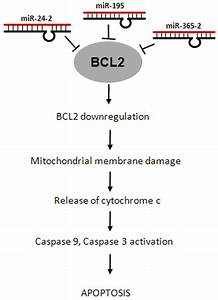 Downregulation Of Bcl2 By Mirnas Augments Drug