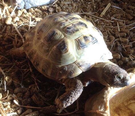 tortoise horse male cardiff field lovely reptiles pets4homes ago years